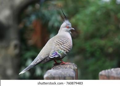 Australian Crested Pigeon (Ocyphaps lophotes)