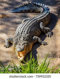 Australian Crocodile basking in the sun