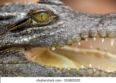Australian Crocodile head and open mouth on water