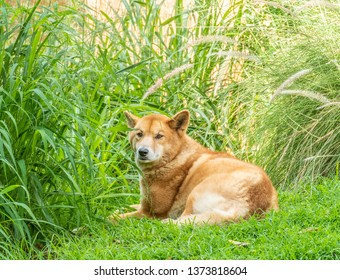 Australian Dingo or Canis dingo, sitting on lush green grass in secluded spot and looking back at camera