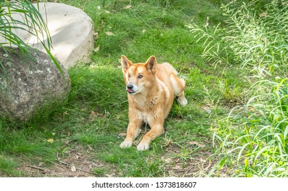 Australian Dingo or Canis dingo, sitting on lush green grass in secluded spot with tongue sticking out