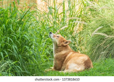 Australian Dingo or Canis dingo, sitting on lush green grass in secluded spot and looking up