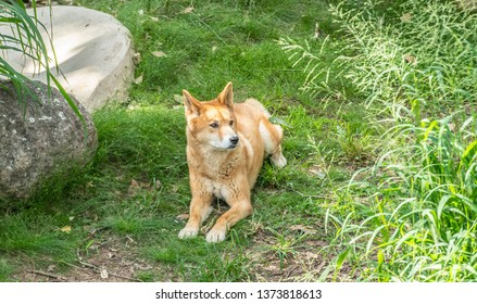 Australian Dingo or Canis dingo, sitting on lush green grass in secluded spot and looking to right