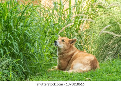 Australian Dingo or Canis dingo, sitting on lush green grass in secluded spot and looking to left