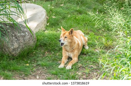 Australian Dingo or Canis dingo, sitting on lush green grass in secluded spot and looking up with mouth open