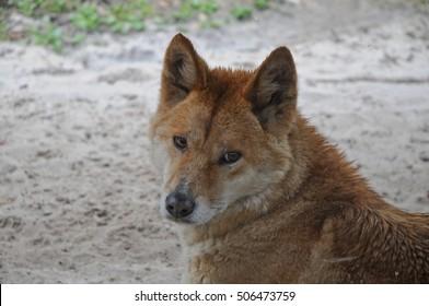 Australian Dingo dog staring