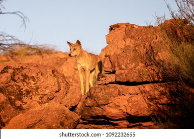 Australian dingo looking for a prey in the middle of the outback in central Australia. The dingo is looking towards the left.