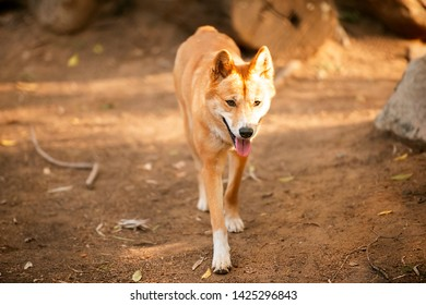 Australian dingo outside in nature during the day.