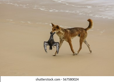 Australian dingo with its prey, a bulwers petrel at a 75 mile beach, Fraser Island, Queensland, Australia