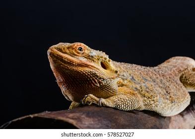 Australian dragon close up in studio