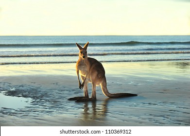 australian eastern grey kangaroo on beach, cape hillsborough, mackay , north queensland. exotic mammal kangaroo similar wallaby on tropical sandy foreshore with copyspace