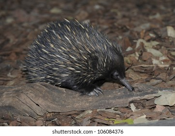 australian echidna or spiny anteater fossicking on forest floor, queensland, australia, like hedgehog