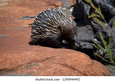 Australian echidna (spiny anteater, Tachyglossus aculeatus) searching for ants on sandstone rocks, Royal national Park, Sydney, Australia