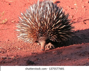 Australian Echidna walking towards the camera, with nose to the ground, picking up a scent trail.