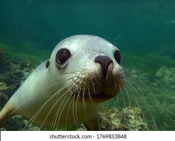 Australian endangered sea lion pup