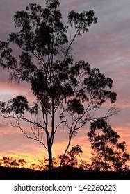 Australian eucalyptus gum tree background australiana silhouette against sunset