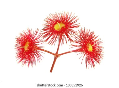 Australian Eucalyptus red flowers isolated on white background