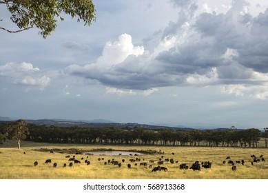 Australian farm scene