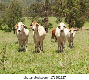 Australian farming, a herd of beef cattle cows on farmland in a green field for meat producing agriculture in Australia