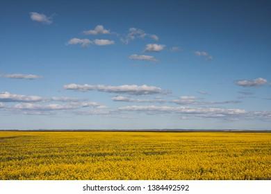 Australian Farms, soy plantation. Soy beam, yellow flowers under a blue sky