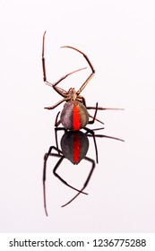 Australian Female Redback Spider on her back with reflection on white perspex