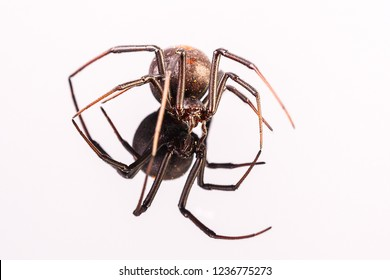 Australian Female Redback Spider walking towards the photographer with reflection on white perspex - arachnid, latrodectus mactans,