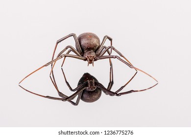 Australian Female Redback Spider walking towards the photographer with reflection on white perspex - arachnid, latrodectus mactans, close up of fangs and eyes