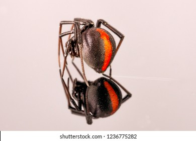 Australian Female Redback Spider walking away with reflection on white perspex