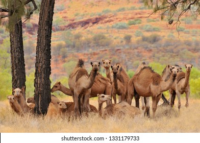 Australian feral camels, mostly dromedaries (Camelus dromedarius) imported into Australia from British India and Afghanistan. Outback Queensland, Australia.