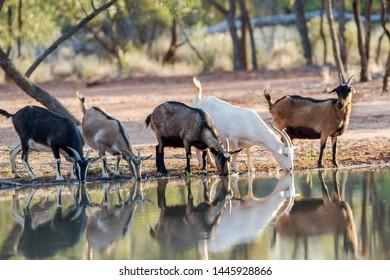 Australian Feral Goats drinking at waterhole