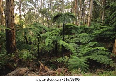 Australian fern tree forest at Ferntree Gully, Melbourne, Victoria, Australia