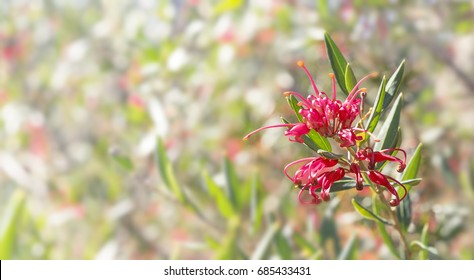 Australian flower Grevillea condolences background with bokeh copy space