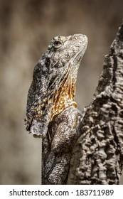 Australian frilled neck lizard (Chlamydosaurus kingii), on a branch in vertical position