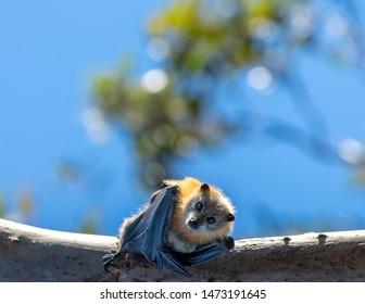 Australian fruit bat colony in Sydney