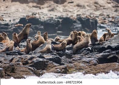 Australian Fur Seals on the rocks at Seal Rocks, Phillip Island, Australia