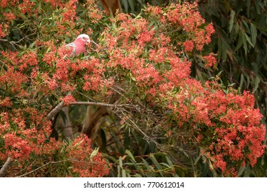 Australian Galah or Rose-breasted Cockatoo (Eolophus roseicapilla) feeding on NSW Christmas Bush (Ceratopetalum gummiferum) - flowers turn from white to red around Christmas time