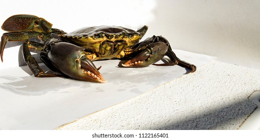Australian Giant Mud Crab. Scylla serrata. Also known as Mangrove, Samoan and Serrated Crab. Freshly caught alive and ready for the cooking pot. Queensland, Australia.