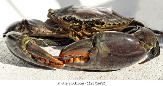 Australian Giant Mud Crab (Scylla serrata). Freshly caught, alive, and up close. Also known as Mangrove, Samoan and Serrated Crab. Queensland, Australia.