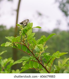 Australian Glasswing butterfly on flower of Broad Leaf Pepper Tree Schinus terebinthifolius in wet rainy weather with raindrops