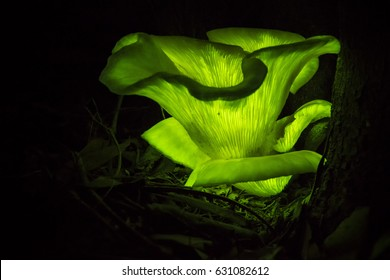 Australian Glow in the dark ghost mushroom Omphalotus nidiformis