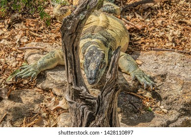 Australian Goanna Lizard, facing camera with head placed between tree branch and showing green scales and big claws