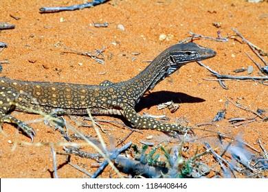 Australian Goanna/Lace Monitor (Varanus varius)