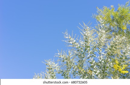 Australian Golden Wattle  and Queensland Silver Wattle trees background with blue sky copy-space