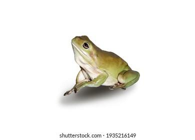 Australian Green Tree Frog native to South East Queensland Brisbane