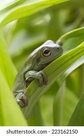 Australian Green Tree Frog on a leaf.