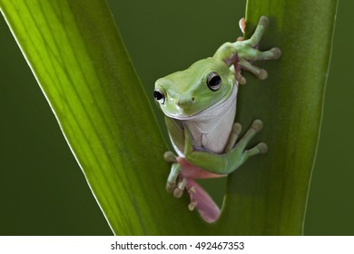 Australian Green Tree Frog on leaf