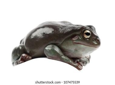 Australian Green Tree Frog, simply Green Tree Frog in Australia, White's Tree Frog, or Dumpy Tree Frog, Litoria caerulea, against white background
