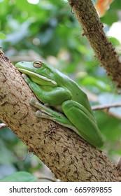 Australian Green Tree Frog sleeping on the branch of a tree.