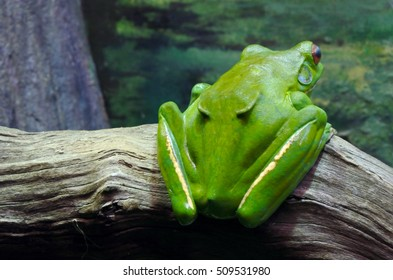 Australian green tree frog in Sydney New South Wales Australia