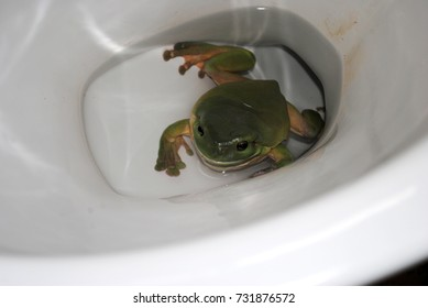 Australian green tree frog in a toilet bowl